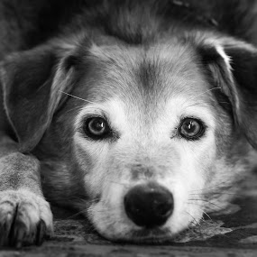 Tetley's last day by Carol Henson - Animals - Dogs Portraits ( mono, tetley, low viewpoint, dogs trust, black and white, portrait, dog,  )