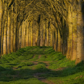 Sunny Trees by Geert Vanhaverbeke - Uncategorized All Uncategorized ( tree, sunset, green,  )