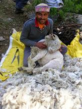 Photo: rearing sheep wool