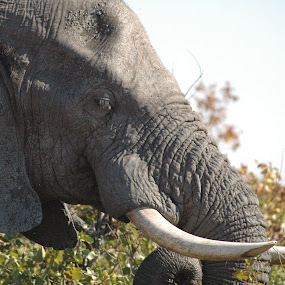 Closeup of elephant by Franco van Vuuren - Animals Other Mammals ( wild life, elephant, big 5, africa, mammal )