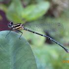 Black Marshdart Damselfly (female)