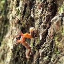 Horned Spanworm
