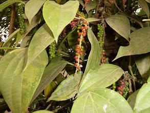Photo: Poivres dans les plantations d'épices au Kérala