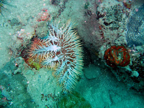 Photo: Crown of Thorns Sea Star
