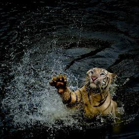 Tiger In Splash by Pimpin Nagawan - Animals Lions, Tigers & Big Cats ( wildlife )