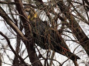 Photo: Glossy Black-Cockatoo (female) Mt Ainslie