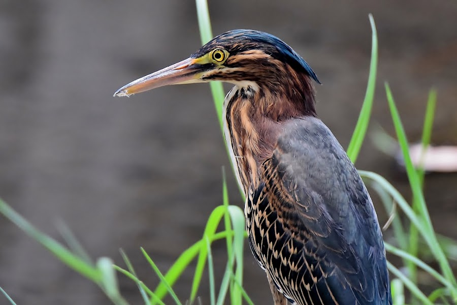 Green Heron 3 by Randy Young - Animals Birds