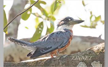 Photo: クビワヤマセミ(Ringed Kingfisher)