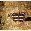 Parathyma sulpitia 殘鍔線蛺蝶