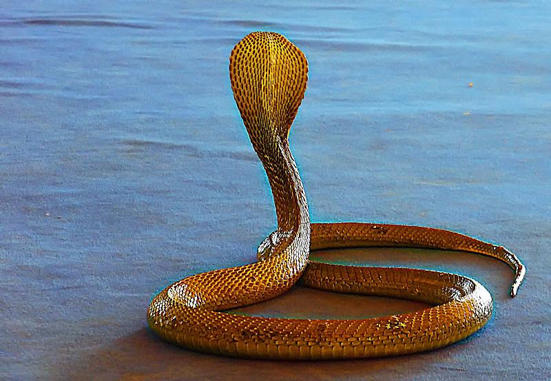 Il cobra non è...... di sara83