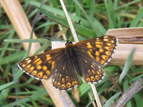 Photo: Duke of Burgundy butterfly 16 May 2015 © Pauline Popely 2015