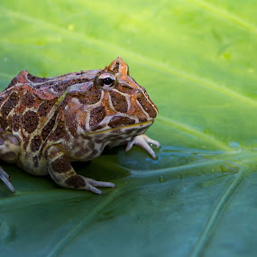 Portrait of a toad by Chris Seaton - Animals Amphibians ( pattern, texture, green, amphibian, wildlife, toad, leaf )
