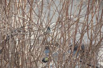 Photo: Eurasian Tree Sparrow (Feldsperling); Reinhardtsdorf, DE