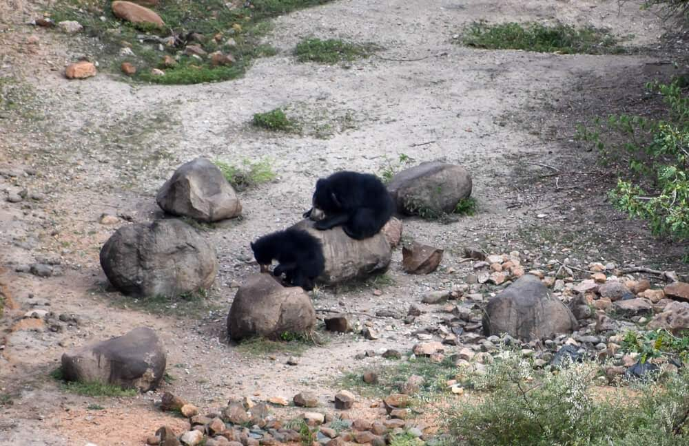 picture+of+sloth+bear+daroji+sloth+bear+sanctuary