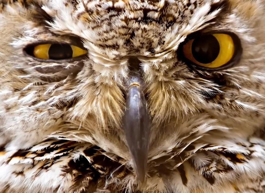 Shrewd Owl by Bill Frische - Animals Birds ( bird, great, shrewed, wink, wise, owl,  )