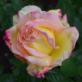 Raspberry Ripple by ADW Photography - Flowers Single Flower ( #botanical #flowers #rose #dainty #fragrant )