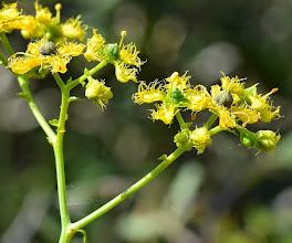 Photo: Ruta angustifolia