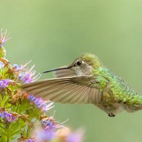 Hummingbird by Tommy  Lam - Animals Birds (  )