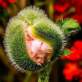by Thomas Thain - Flowers Flower Buds