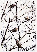 Photo: 撮影者:佐藤サヨ子 ウソ タイトル: 観察年月日:2015年1月26日 羽数:2羽 場所:日野3中の裏門の桜 区分:行動 メッシュ:武蔵府中3H コメント:空は曇ったままで鳥影も少な買ったのですが、帰り道階段を下りるとこの鳥がいました。