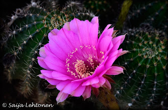 Photo: It's a beautiful Friday morning... heading out for a few hours to shoot. Wishing you all the best for the weekend!!  Saija Lehtonen Photography  #CactusFlower #CActus #Flower #FloralFriday #Nature #Photography