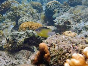 Photo: Unidentified Damselfish, Lusong Island, Coral Garden Reef, Palawan, Philippines.