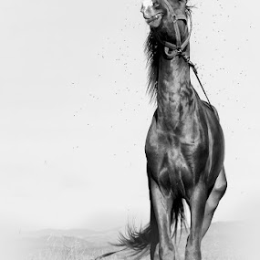 Horse by Costin Mugurel - Black & White Animals ( wild, nature, black and white, horse, animal )
