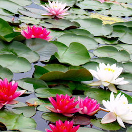 Water Lilies in the Pond by Tina Dare - Flowers Flowers in the Wild ( red, blooms, flowers, green, water lilies, white, nature, water, water lily, colorful )
