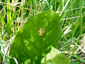 Photo: A Tree Frog climbing a Skunk Cabbage leaf.