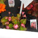 Bada Bing Rose Begonia