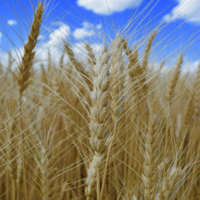 Harvest by Jay Hathaway - Nature Up Close Other plants ( sky, field, wheat, summer, farmland )