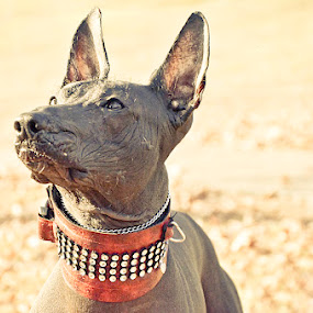 Beauty is in the eye of the beholder by Louise Lacante - Animals - Dogs Portraits ( hairless, zoloitzcuintle, mexican, dog )