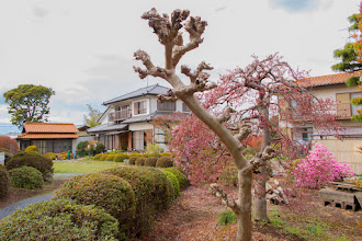 Photo: Cherry blossom in a home garden, Ōizumi, Ōra District, Gunma Prefecture. Read more about Oizumi: http://japanvisitor.blogspot.jp/2015/04/oizumibrazil-in-japan.html