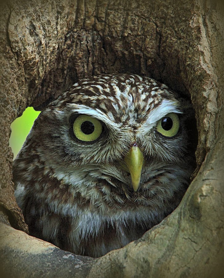 Little Owl by Alex Graeme - Animals Birds (  )