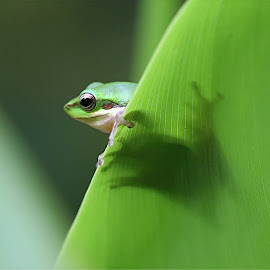 I can see you by Lee Newman - Animals Amphibians ( green, frog, rainforest, amphibian, eyes,  )