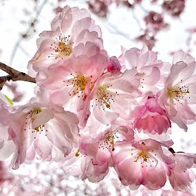by Alena Ajaja Koutná - Flowers Tree Blossoms