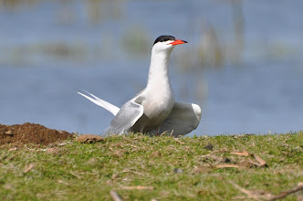 Photo: Sterna hirundo