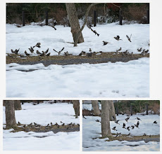 Photo: 撮影者:清水盛通 イカル タイトル:イカル三昧(三枚) 観察年月日:2014.02.24 羽数:100+ 場所:北浅川(小田野中央公園) 区分:行動 メッシュ:拝島1A コメント:先日の雪はまだ地面を覆ったままですが、エノキの周りには黒い土がのぞき始めイカルの集団が日に日に大きくなってきました。  安全確認の鳴き声とともにいっせいに地面に降り、プチプチと音を立てて食べ始めますが近くを通る散歩のたびに再び樹上に飛び上がります。