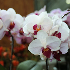 Orchids by Luciana Popa - Flowers Flower Gardens ( #orchids, #photo, #orchid, #photography, #flower,  )