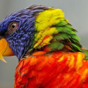 Lori by Merina Tjen - Lim - Animals Birds ( lori; australian; bird; canon; colourful )