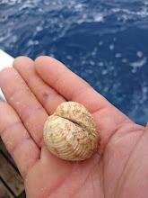 """Photo: 喰ってきた貝はこんな感じのものです。 ちょうどクルミみたいな貝です。 ちょっとやそっとじゃ口は開きません。それがジグに噛みついて! 何か持ってる""""オオイシさん"""""""
