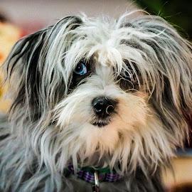 Gracie by Jerome English - Animals - Dogs Portraits ( pet portrait, animals, tricolor, furry, blue eyes, puppy portrait,  )