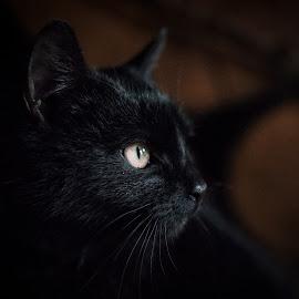 Black Manx 3 by Martin Mák - Animals - Cats Portraits ( looking, look, cats, cat face, cat, cat eyes, cat portrait, beautiful, dark background, black, domestic cat )