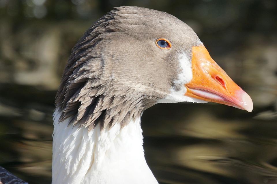 Goose, Magelangans, Magpie, Portrait, Bird