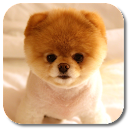 Pom Dog Live Wallpaper v 1.0 app icon