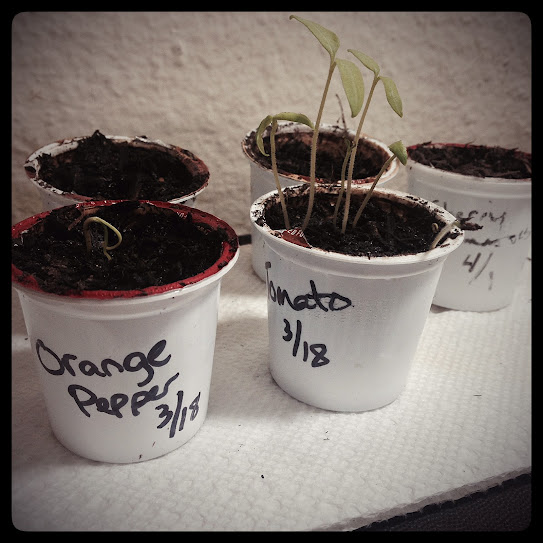 K-cup seedlings