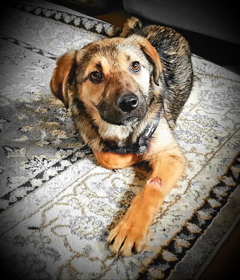 Little Rommi Pup by Lyndsay Hepburn - Animals - Dogs Puppies ( rescuepuppy, romanianrescue, alsationpup )