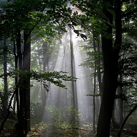 by Siniša Almaši - Nature Up Close Trees & Bushes ( forest, sunrays, sunlight, view, nature, light, fom, natural light, trees, mist, depth morning,  )