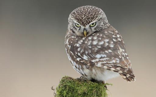 Owl Bird Live Wallpaper Animal