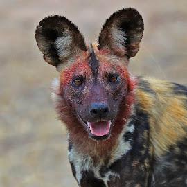 Painted Dog! by Anthony Goldman - Animals Other Mammals ( wild dog, predator, nature, londolozi, painted dog, wildlife )